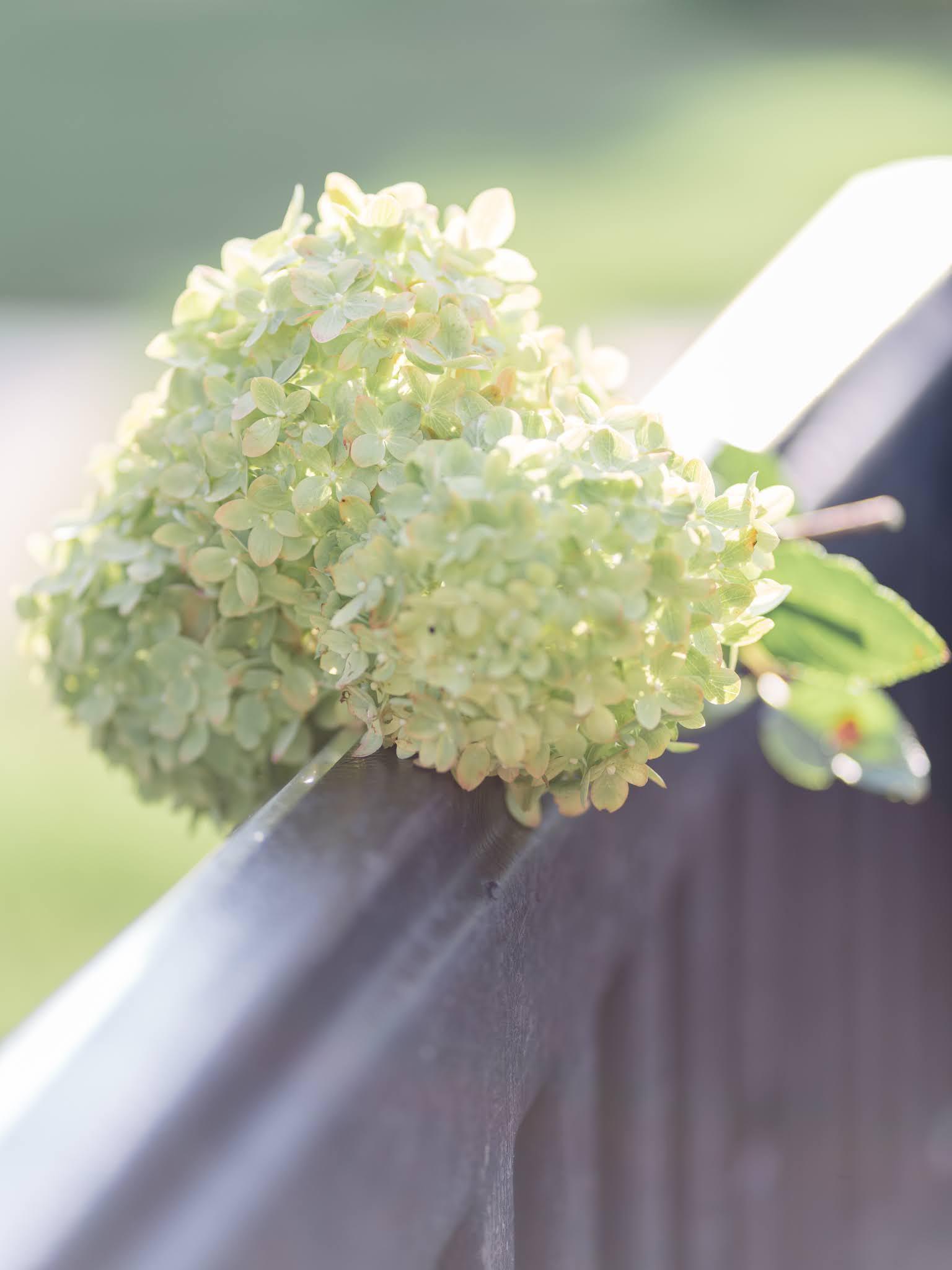 green hydrangeas