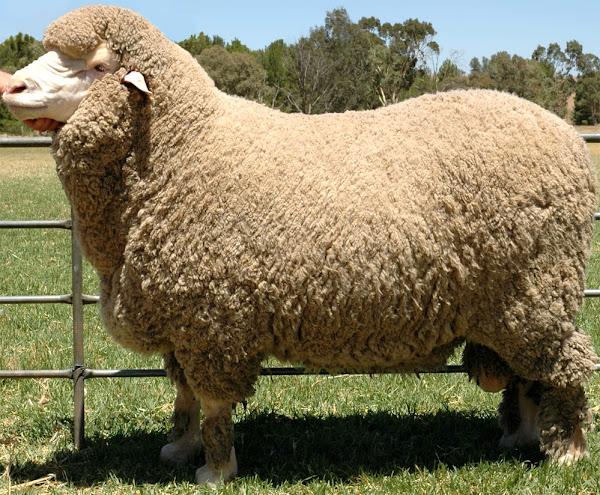 Poll Merino Sheep Characteristics Uses Breed Information