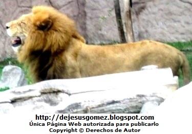 Foto de un León abriendo la boca en el Parque de las Leyendas. Foto de un león de Jesus Gómez