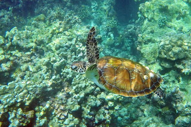 snorkeling, schnorcheln, daymaniyat, islands, inseln, fische, korallen, oman, Muscat, unterwasser, meer, schildkröten, turtles, meeresschildkröten