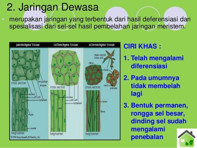 Makalah Struktur Dan Fungsi Jaringan Tumbuhan Terlengkap Teguh Ngenolz