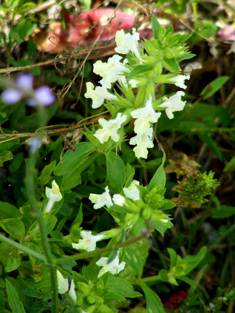 Lamiaceae.  Indre et Loire, France. Photographed by Susan Walter. Tour the Loire Valley with a classic car and a private guide.