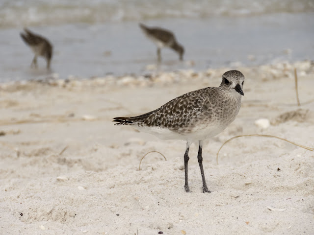 shorebird on the beach in Florida