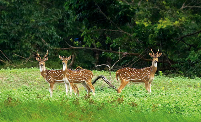 Deer-of-Sundarban
