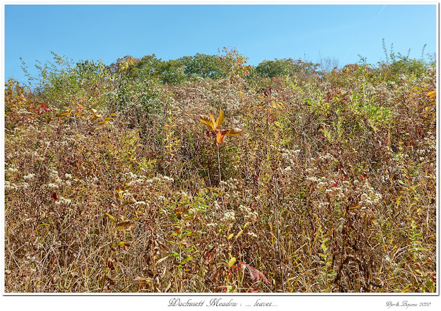 Wachusett Meadow: ... leaves...
