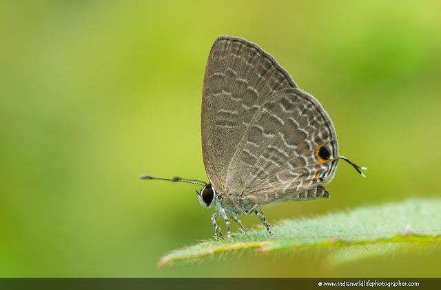 Dark Cerulean, Jamides Bochus, Butterfly, Indian Wildlife Photographer, small butterfly