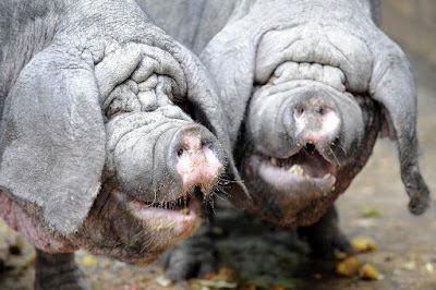 Meishan Pig Pros and Cons, Origin, Facts, Weight, Meat Quality