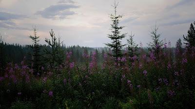 Wallpaper fir, tree, forest, purple flowers
