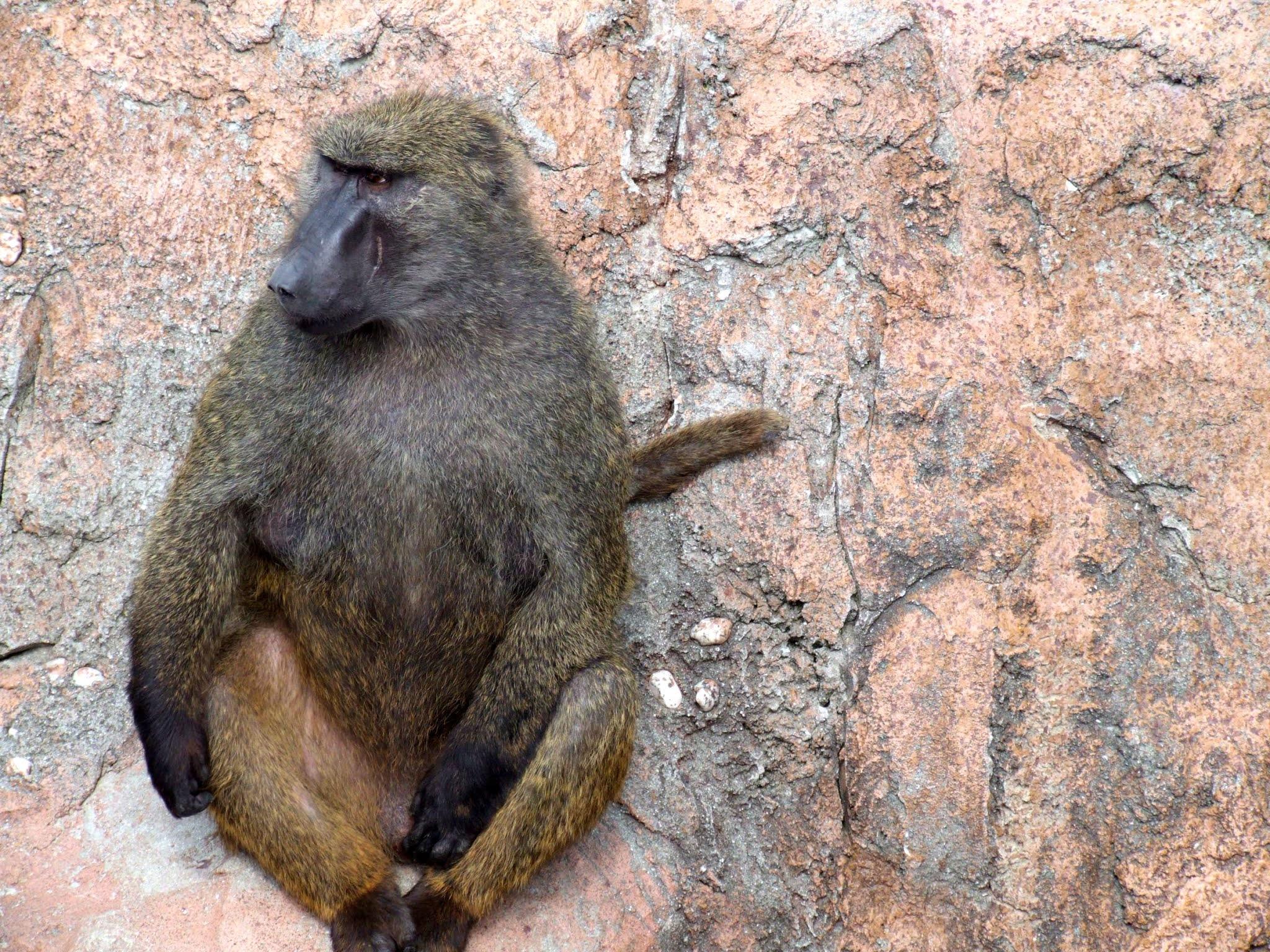 オナガザル科のアヌビスヒヒ(またの名をドグエラヒヒ)と言うお猿さん🐵の写真素材です。きれいにあぐらをかくように座ってて可愛いですね🐒。