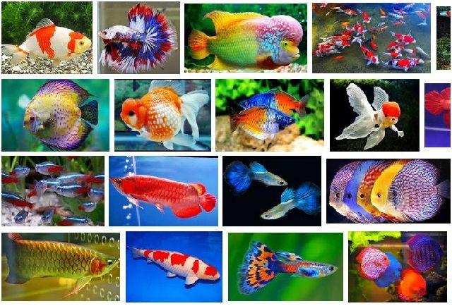 Gambar Ikan Hias Cantik