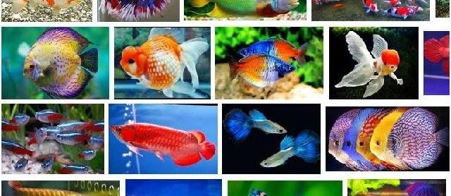Gambar Ikan Hias Cantik Harga Murah untuk Akuarium