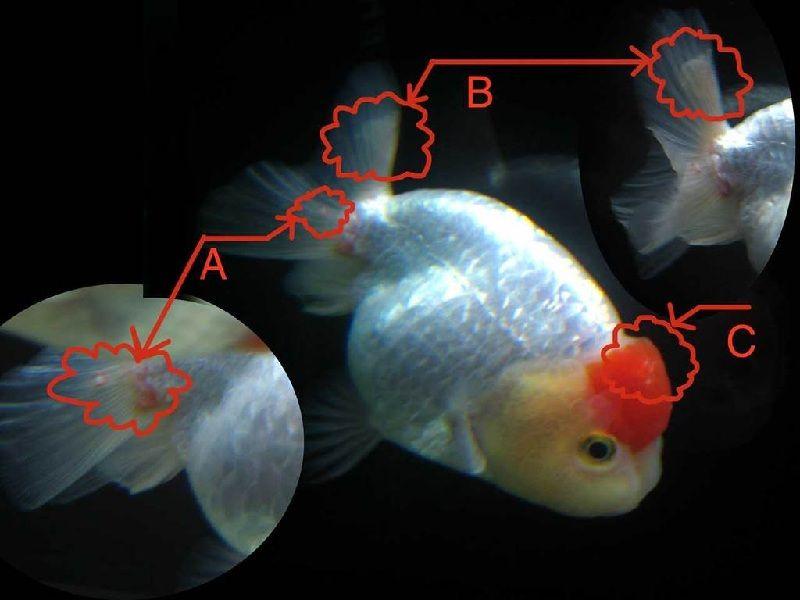 Gambar Penyakit Ikan Mas Koki Busuk Sirip