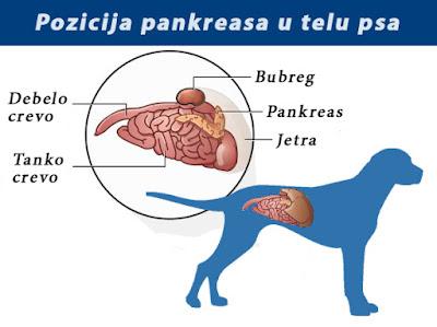 Pozicija pankreasa u telu psa