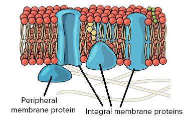 بروتينات الغشاء الخلوي (membrane proteins)