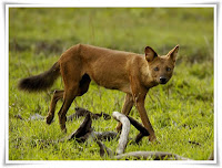 Dhole Animal Pictures