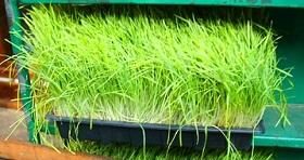 عشبة القمح للتخسيس