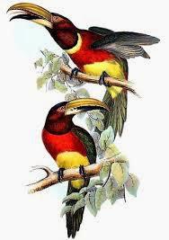 Arasarí cuello rojo Pteroglossus bitorquatus
