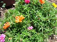 Existem duas variações comercializadas da onze-horas (Portulaca grandiflora); a comum e a dobrada. Comuns são as tem apenas uma fileira de pétalas, e dobras são as que apresentam sobreposições de pétalas, chegando a se assemelhar às rosas.