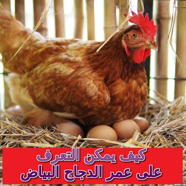 """""""كيف اعرف عمر الدجاج البلدي"""" """"تربية الدجاج البياض في المنزل"""" """"الدجاج البياض كم بيضة باليوم"""" """"استهلاك الدجاج البياض من العلف"""" """"تربية الدجاج البياض من الالف الى الياء+برنامج تحصين"""" """"كم عمر الدجاجة لكي تبيض"""" """"كم بيضة تبيض الدجاجة البلدية في اليوم"""" """"هل مشروع الدجاج البياض مربح"""""""