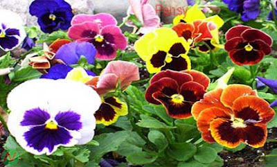 pansy flower, pansy