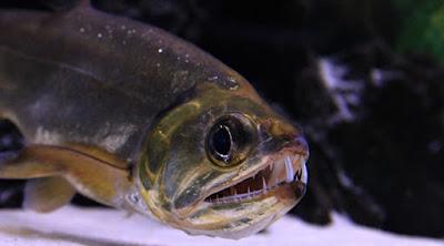 Ikan Payara (Hydrolycus Scomberoides)