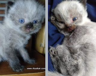 merawat-kucing-hamil-di-rumah