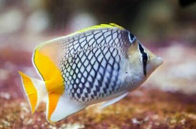 ikan hias butterflyfish