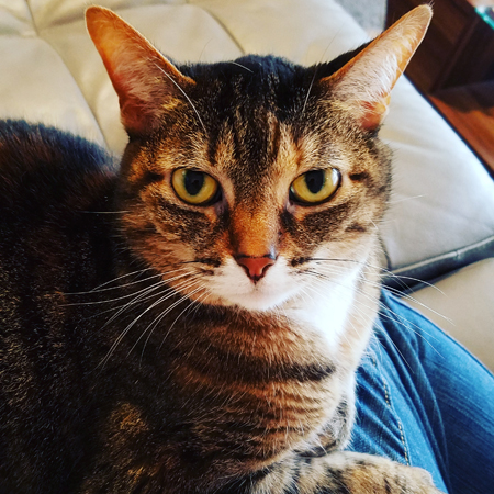 image of Sophie the Torbie Cat sitting on my lap, looking up at me with a serious expression