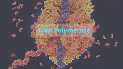 DNA-polymerase