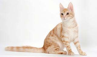 Kucing angora asli yang banyak diminati