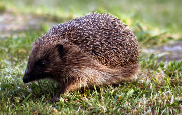 The Writer's Pet: Jessica Redland's latest books are set in a hedgehog rescue. Pictured, a hedgehog walks across the lawn.