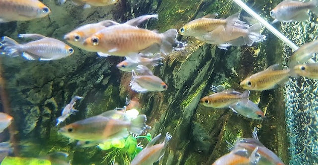 shoal of Congo tetra in aquarium