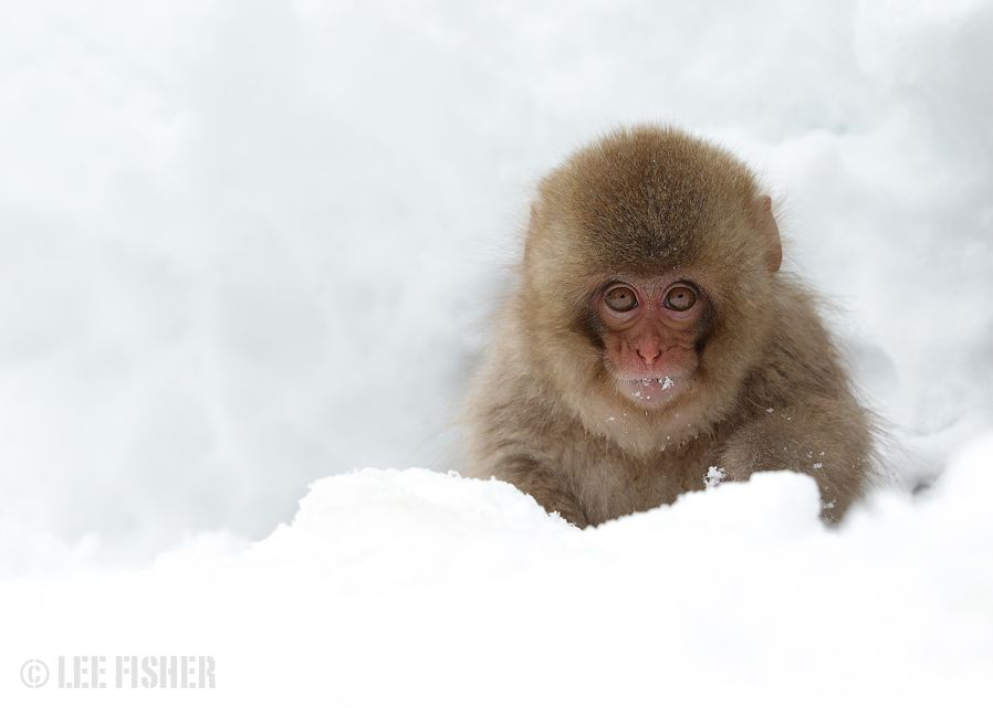 9. Photograph BABY SNOW MACAQUE by Lee Fisher