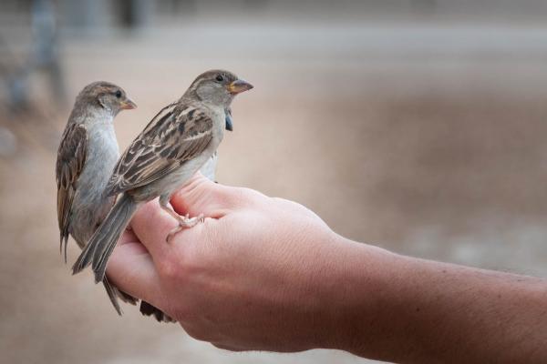 أنواع طيور الزينة الاكتر تربية في العالم صنف العصافير