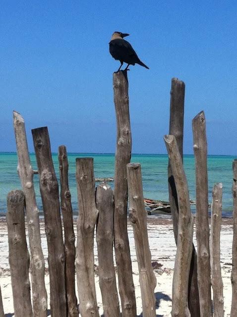 cornacchia spiaggia palizzata