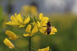 Mustard Oil- Benefits and Hazards