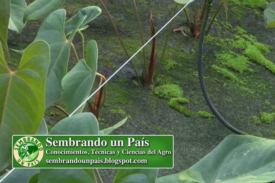 plantas de anthurium en sustrato sintético