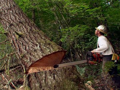 ผลการค้นหารูปภาพสำหรับ ช่างตัดไม้
