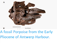 https://sciencythoughts.blogspot.com/2015/01/a-fossil-porpoise-from-early-pliocene.html