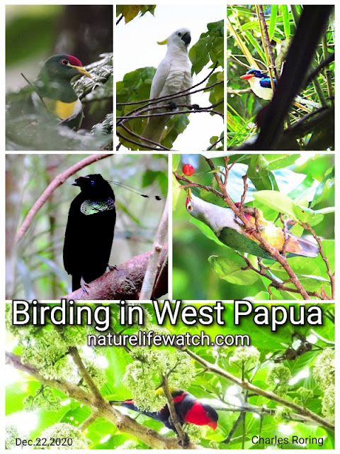birding trip to wondama and manokwari in Indonesia
