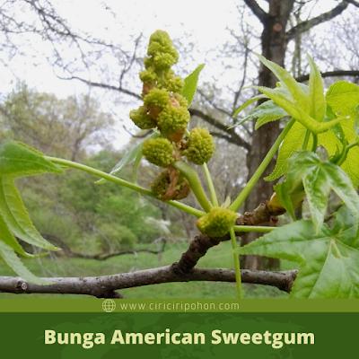 Ciri Ciri Bunga American Sweetgum