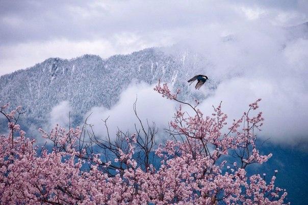 Tibet beautiful pink nature 01