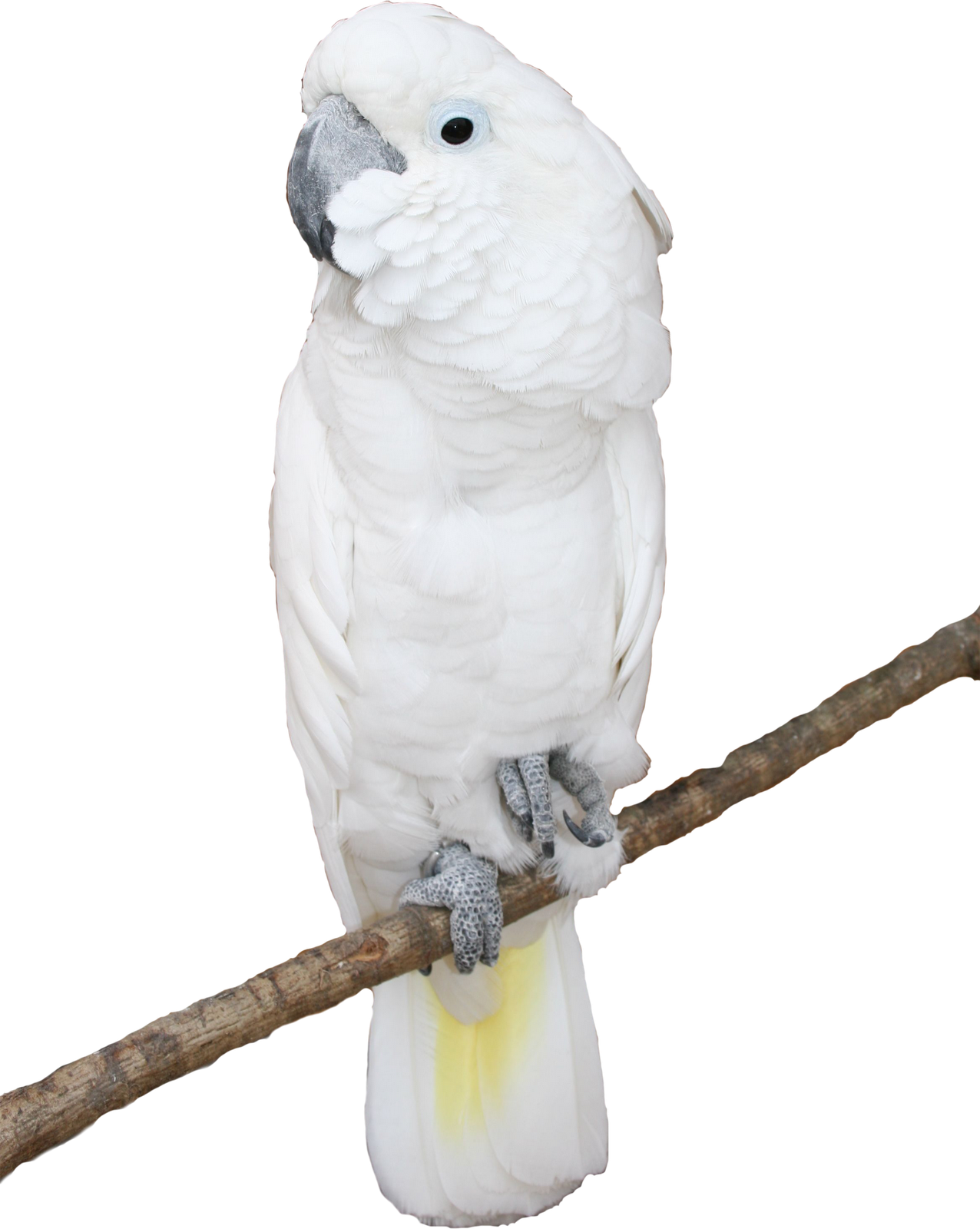 Http Home Designing Software Parrot Psd And Png On White Background Free Background