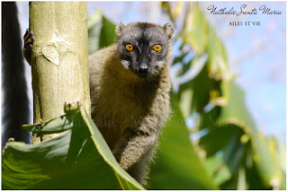 https://ailesetvie.blogspot.com/search/label/Maki%20de%20Mayotte%20-%20Eulemur%20fulvus