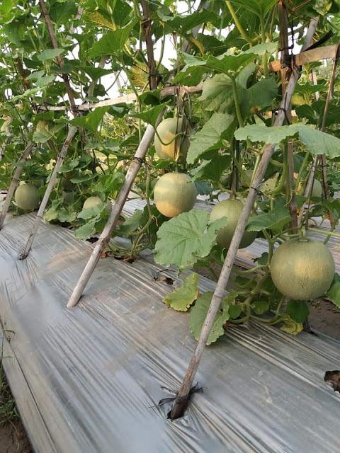 Tanaman buah melon