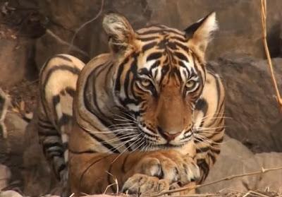 Contoh Cerita Fabel Kancil dan Harimau Bahasa Inggris dan Terjemahan bahasa indonesia