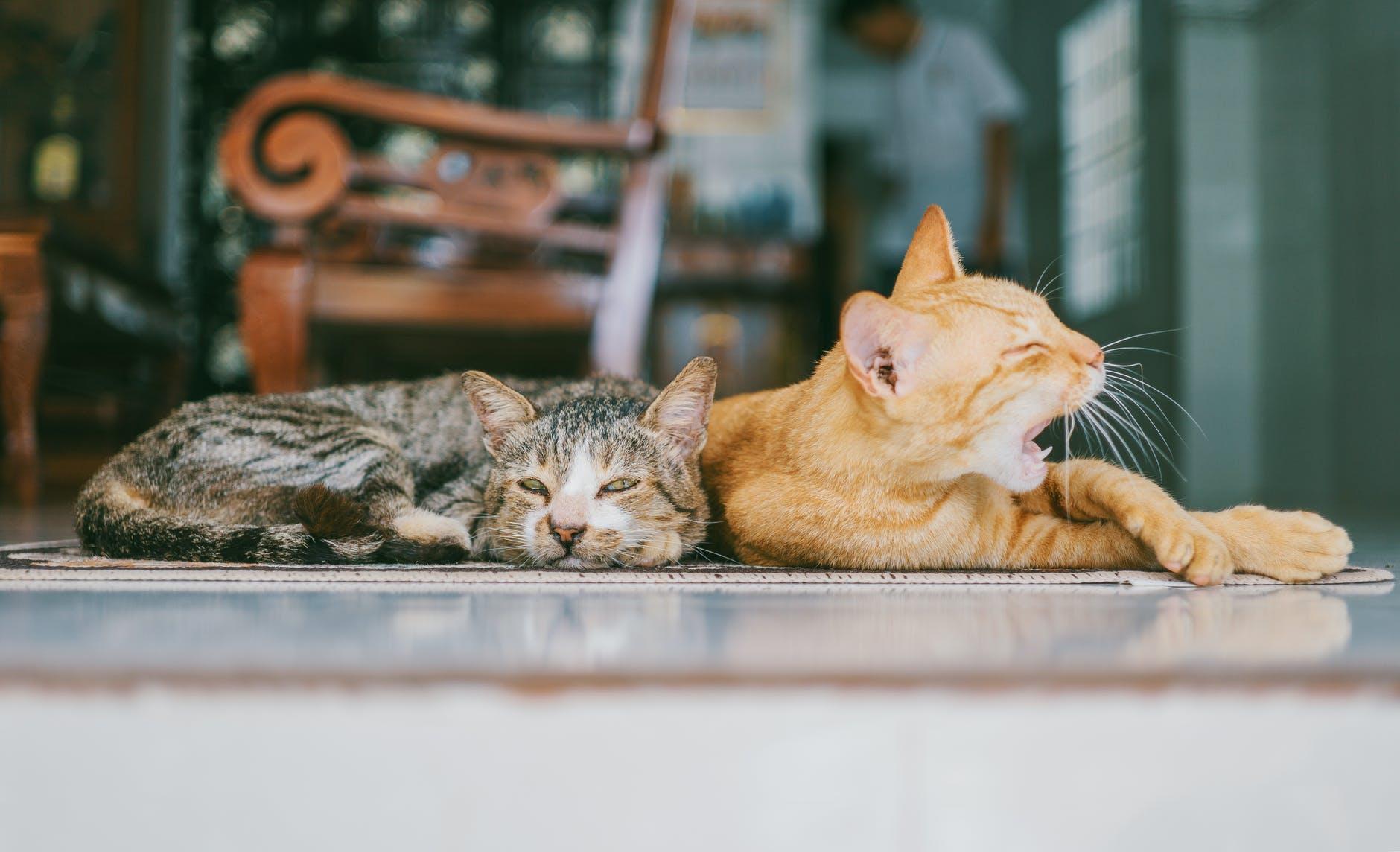 Avantages de la stérilisation des chats