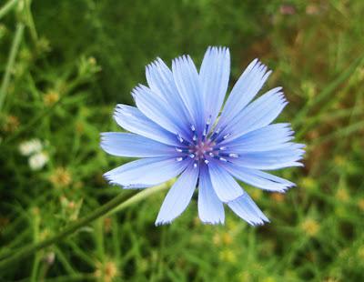 Achicoria (Cichorium intybus) border=