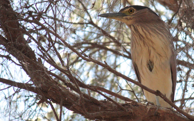 Nankeen Night Heron Juvenile coming into his adult plumage - that's his foot he's holding up to his chest.