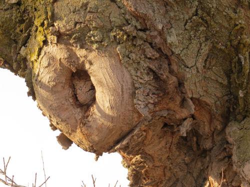 tree with limb scar